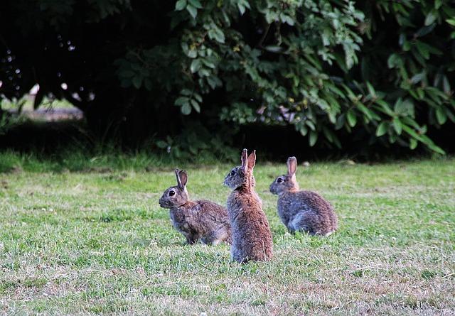divocí králíci