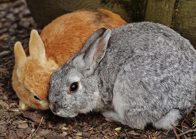 pár králíků