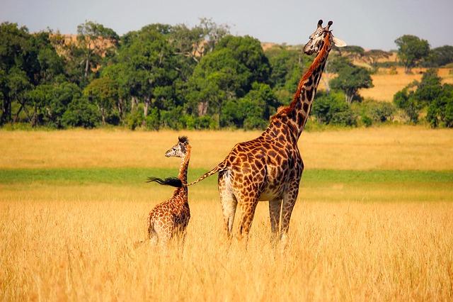 žirafa a mládě